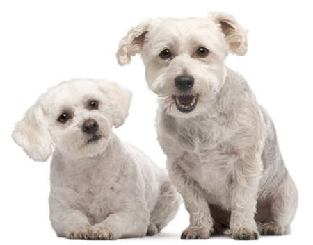 Maltese, 2 and 5 years old, in front of white background photo