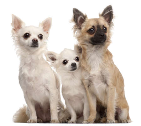 Three Chihuahuas, 5 years old and 8 months old, sitting in front of white background photo