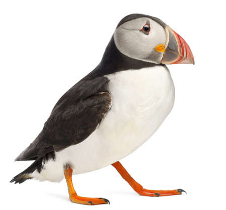 arctica: Atlantic Puffin or Common Puffin, Fratercula arctica, in front of white background