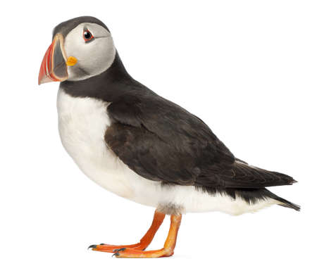 Atlantic Puffin or Common Puffin, Fratercula arctica, in front of white background