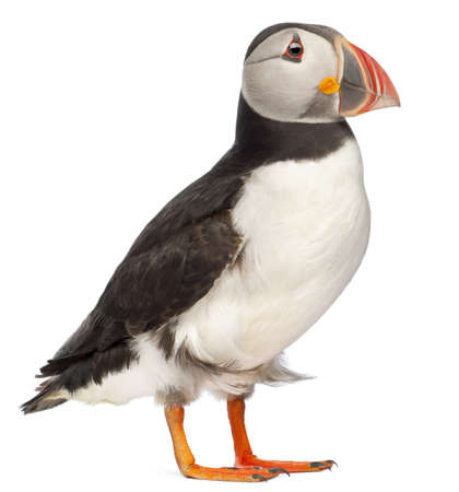 puffin: Atlantic Puffin or Common Puffin, Fratercula arctica, in front of white background