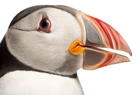 Close-up of Atlantic Puffin or Common Puffin, Fratercula arctica, in front of white background Stock Photo