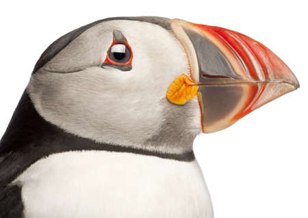 puffin: Close-up of Atlantic Puffin or Common Puffin, Fratercula arctica, in front of white background Stock Photo