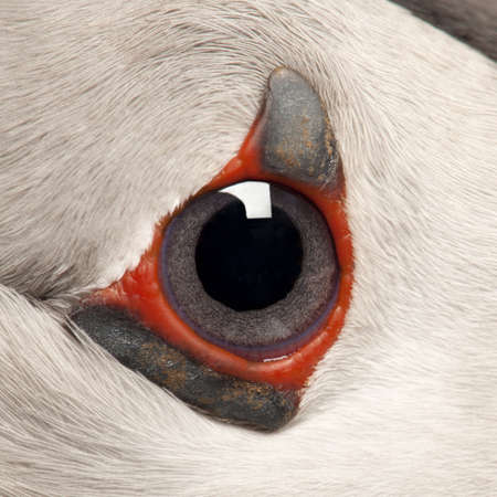 puffin: Close-up of Atlantic Puffin eye or Common Puffin eye, Fratercula arctica