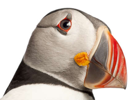 arctica: Close-up of Atlantic Puffin or Common Puffin, Fratercula arctica, in front of white background Stock Photo