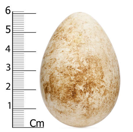 arctica: Egg of Atlantic Puffin or Common Puffin with height, Fratercula arctica, in front of white background Stock Photo
