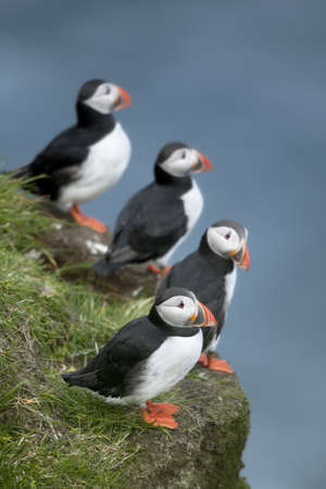 puffin: Atlantic Puffin or Common Puffin, Fratercula arctica, on Mykines, Faroe Islands Stock Photo