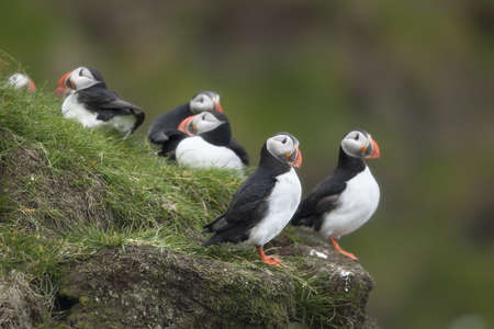 Atlantic Puffin or Common Puffin, Fratercula arctica, on Mykines, Faroe Islands photo