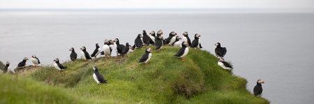 arctica: Atlantic Puffin or Common Puffin, Fratercula arctica, on Mykines, Faroe Islands Stock Photo