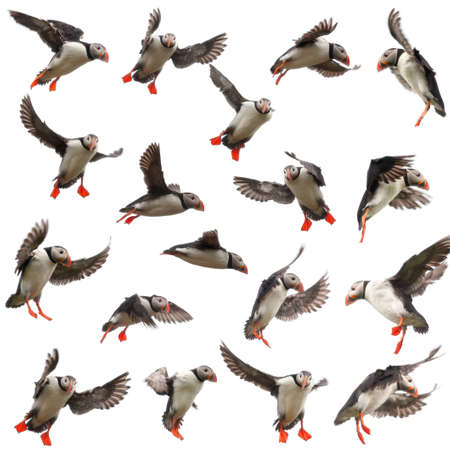 Collection of Atlantic Puffin or Common Puffin, Fratercula arctica, in flight in front of white background photo