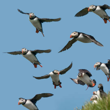 Atlantic Puffin or Common Puffin, Fratercula arctica, in flight on Mykines, Faroe Islands photo
