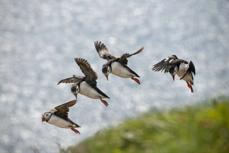 flapping: Atlantic Puffin or Common Puffin, Fratercula arctica, in flight on Mykines, Faroe Islands Stock Photo