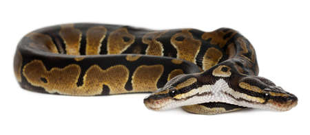 two year old: Two headed Royal Python or Ball Python, Python Regius, 1 year old, in front of white background Stock Photo