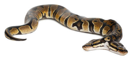 regius: Two headed Royal Python or Ball Python, Python Regius, 1 year old, in front of white background Stock Photo
