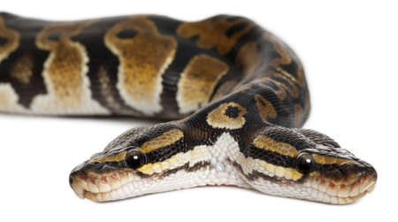 Close-up of Two headed Royal Python or Ball Python, Python Regius, 1 year old, in front of white background Stock Photo - 10772484