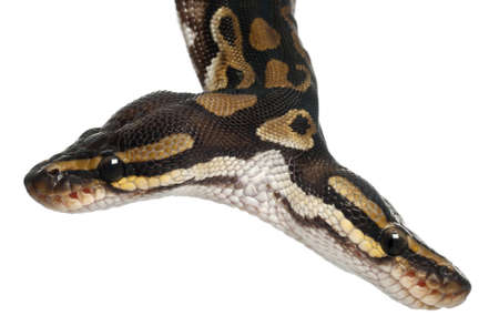 ball python: Close-up of Two headed Royal Python or Ball Python, Python Regius, 1 year old, in front of white background