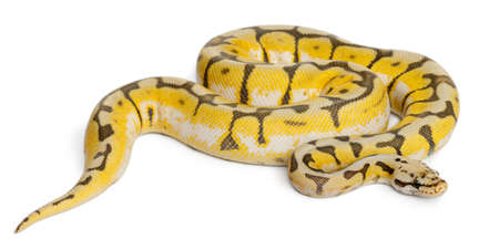 slithering: Female Killerbee Royal python, ball python, Python regius, 1 year old, in front of white background