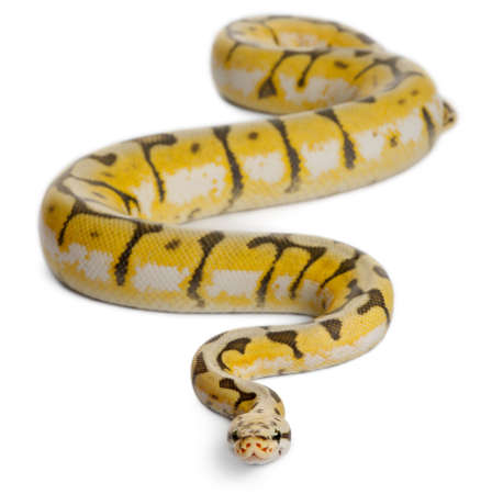 Female Killerbee Royal python, ball python, Python regius, 1 year old, in front of white background photo