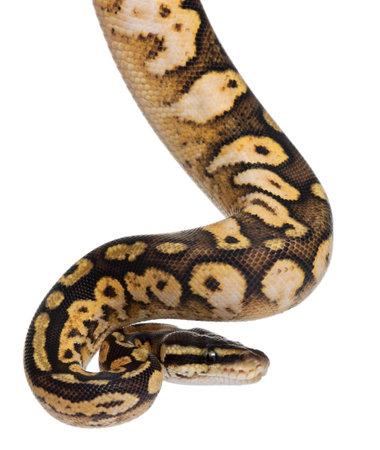 ball python: Male Pastel calico Python, Royal python or ball python, Python regius, 11 months old, in front of white background Stock Photo