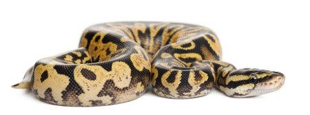 royal python: Female Pastel calico Python, Royal python or ball python, Python regius, in front of white background