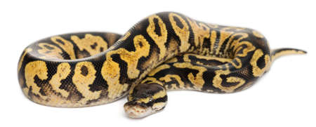 python: Female Pastel calico Python, Royal python or ball python, Python regius, in front of white background