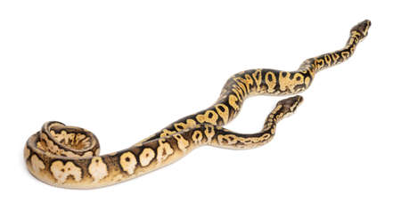 ball python: Female and Male Pastel calico Pythons, Royal python or ball python, Python regius, in front of white background