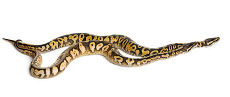 Male and female Pastel calico Royal Python, ball python, Python regius, in front of white background photo