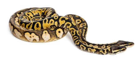 ball python: Male and female Pastel calico Royal Python, ball python, Python regius, in front of white background