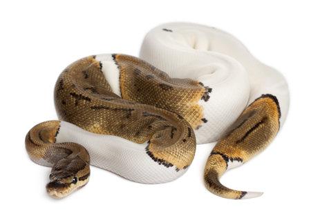 ball python: Female Pinstripe Pied Royal python, ball python, Python regius, 14 months old, in front of white background