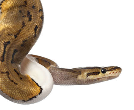 ball python: Close-up of Female Pinstripe Pied Royal python, ball python, Python regius, 14 months old, in front of white background
