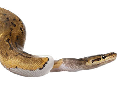 Close-up of Female Pinstripe Pied Royal python, ball python, Python regius, 14 months old, in front of white background photo