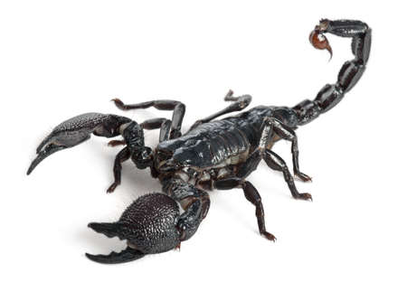 scorpion: Emperor Scorpion,  Pandinus imperator, 1 year old, in front of white background