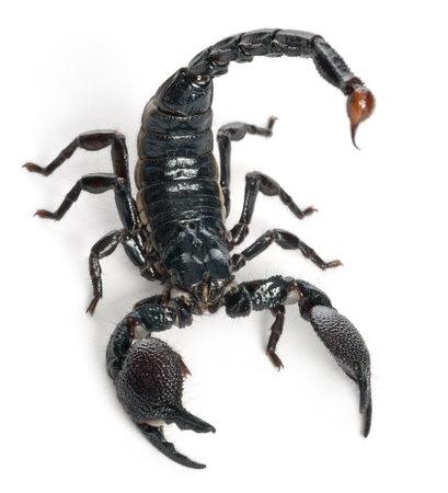 scorpion: Empereur Scorpion, Pandinus imperator, �g� de 1 an, en face de fond blanc