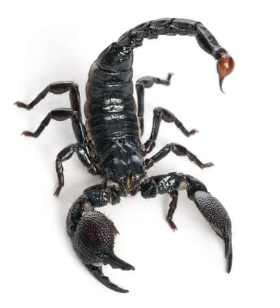 stinger: Emperor Scorpion,  Pandinus imperator, 1 year old, in front of white background