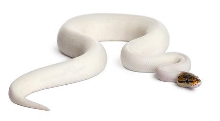 ball python: Female Pied Spider Royal python, ball python, Python regius, 18 months old, in front of white background