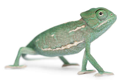 Young veiled chameleon, Chamaeleo calyptratus, in front of white background photo