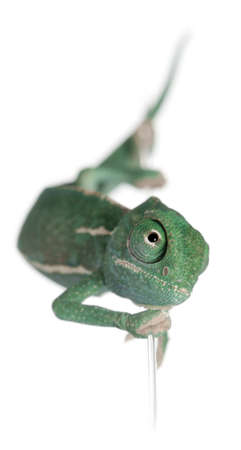 Young veiled chameleon, Chamaeleo calyptratus, climbing up a string in front of white background photo