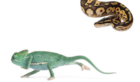 regius: Young veiled chameleon, Chamaeleo calyptratus, running from a Male Pastel calico Royal python, Python regius, 11 months old, in front of white background