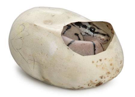 ball python: Royal Python in his egg, ball python, Python regius, in front of white background