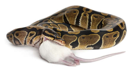 of prey: Python Royal python eating a mouse, ball python, Python regius, in front of white background