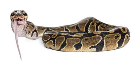 snake bite: Python Royal python eating a mouse, ball python, Python regius, in front of white background