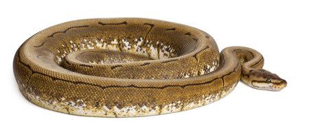 ball python: Spinner Python, Royal python, ball python, Python regius, 2 years old, in front of white background