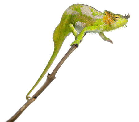 Four-horned Chameleon, Chamaeleo quadricornis, perched on branch in front of white background photo