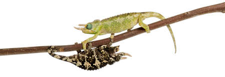 Two Mt. Meru Jacksons Chameleons, Chamaeleo jacksonii merumontanus, partially shedding and perched on branch in front of white background photo