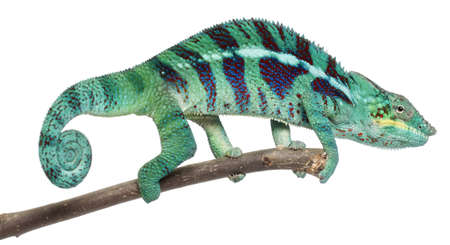 Panther Chameleon Nosy Be, Furcifer pardalis, in front of white background photo