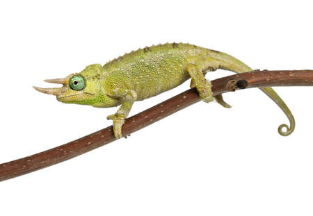 partially: Mt. Meru Jacksons Chameleon, Chamaeleo jacksonii merumontanus, partially shedding and perched on branch in front of white background