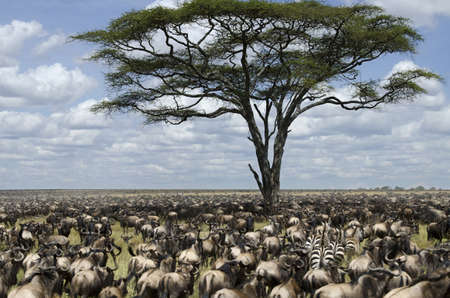 wildebeest: Herd of wildebeest migrating in Serengeti National Park, Tanzania, Africa
