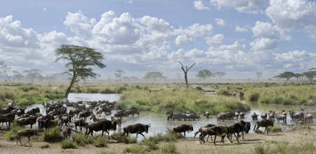Herd of wildebeest and zebras in Serengeti National Park, Tanzania, Africa photo