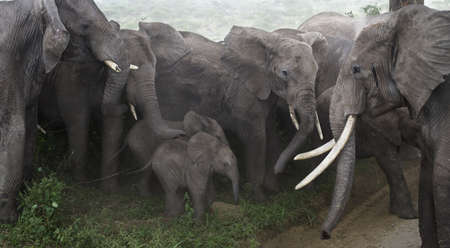 medium group: Baby elephants protected by adults in Serengeti National Park, Tanzania, Africa Stock Photo