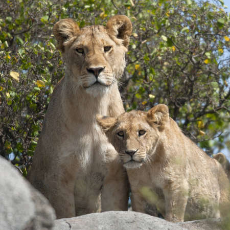 shape cub: Lioness and lion cubs in Serengeti National Park, Tanzania, Africa
